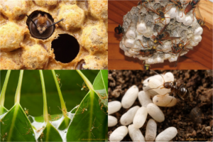 Clockwise: Bee, wasp, ants and larvae, green ants