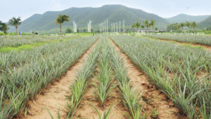 Pineapple fields with wind turbine background