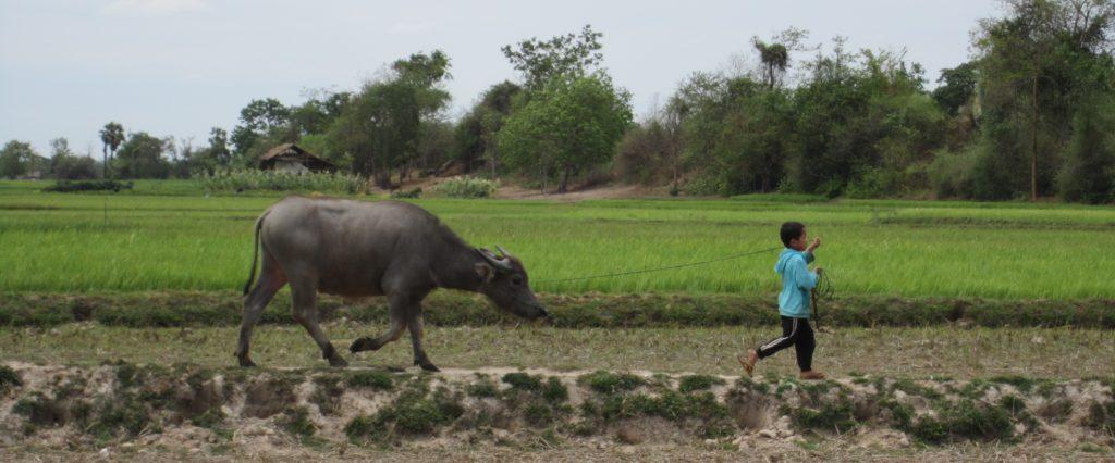 Boy and carabao among rice fields