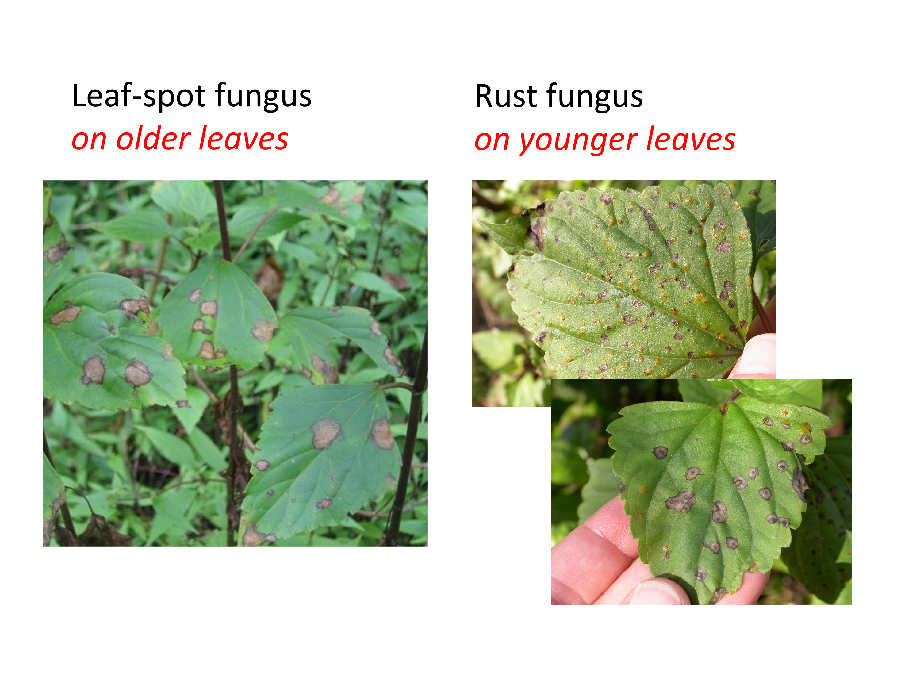 Leaf-spot vs rust fungus