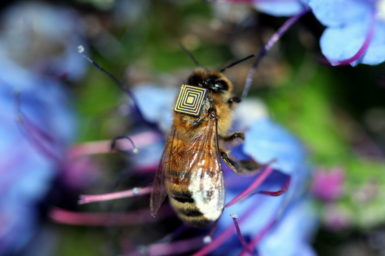 Thousands of honey bees in Australia are being fitted with tiny sensors as part of a world-first research program to monitor the insects and their environment using a technique known as 'swarm sensing'.