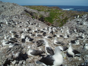 Shy Albatross breed on three Tasmanian islands