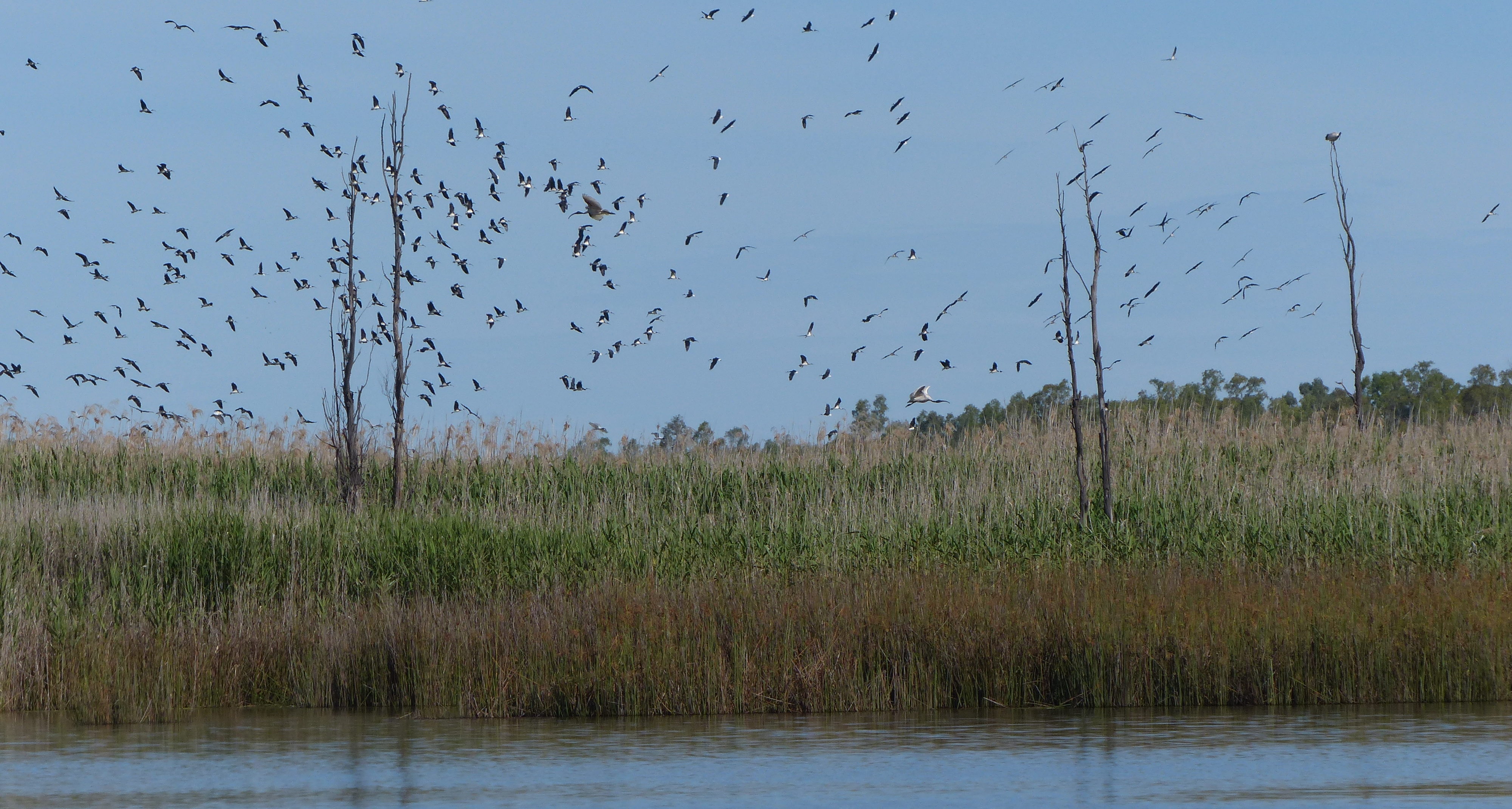 A flock of straw-necked ibis and Australian white ibis take to the sky above their breeding ground at the Barmah-Millewa Forest, a wetland of the Murray River. Image credit: Heather McGinness