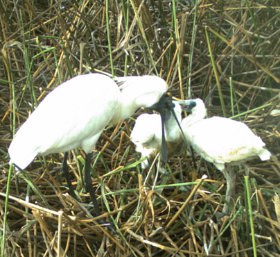 A royal spoonbill