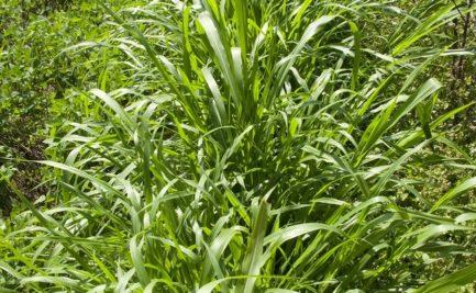 Napier grass year-round green fodder in northern India (Koki village). Photo credit: ILRI/Stevie Mann