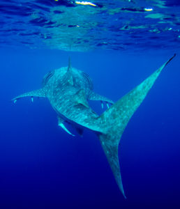 Whale sharks are being tagged as part of the project by Dr. Richard Pillans (Image Credit: Anna Cresswell).