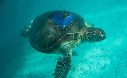Turtle with satellite tracker on the shell
