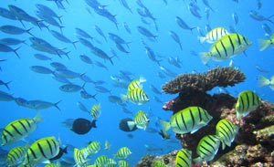A coral reef with schools of fish