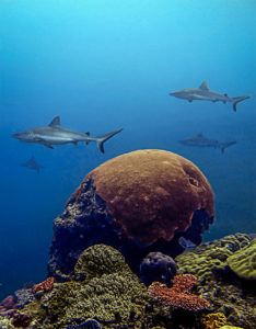 Grey reef sharks in the Pilbara.