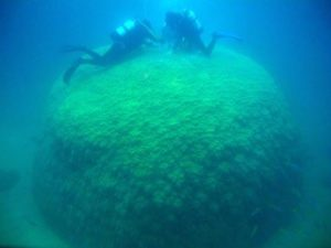 Massive brain coral (Porites spp) being cored by research scientists