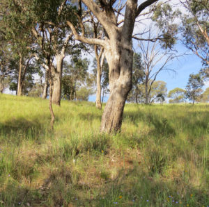 Trees of different ages interspersed with shrubs and a diverse ground cover of grasses and forbs indicate grassy woodland of high conservation value (photo: Suzanne Prober)