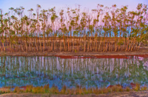 River red gum saplings at sunset, Chowilla Floodplain, South Australia (photo: copyright Ian Overton)