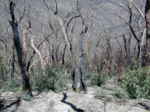 Mixed coppice woodland of basal resprouter species: broad-leaved peppermint Eucalyptus dives and brittle gum E. mannnifera, one year after fire, Brindabella Ranges, New South Wales