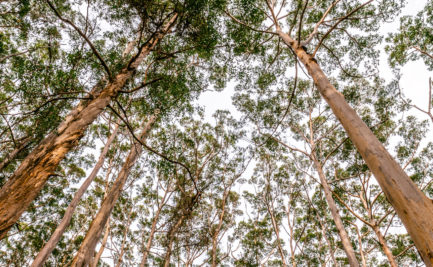 Looking up towards the treetops in a forest
