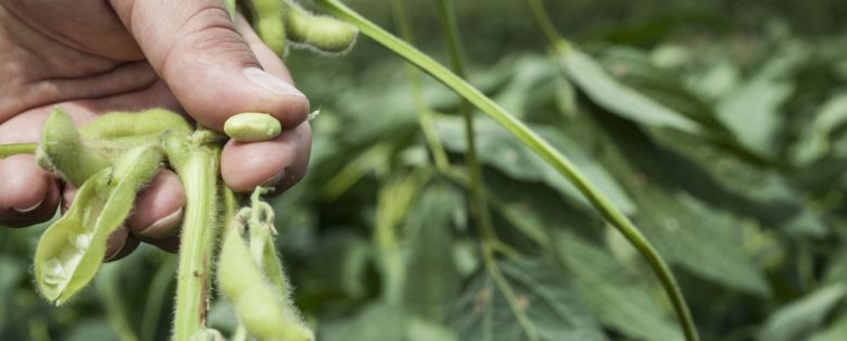 Holding a soy bean from a pod between fingers