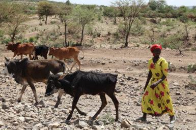 An African woman herding cattle