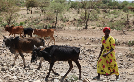 An African woman herding cattle