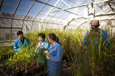 Researchers inspecting BarleyMax plants in a greenhouse