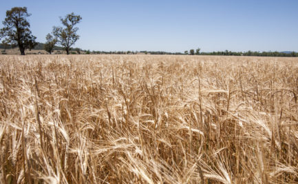 A field of barley with two trees in the background