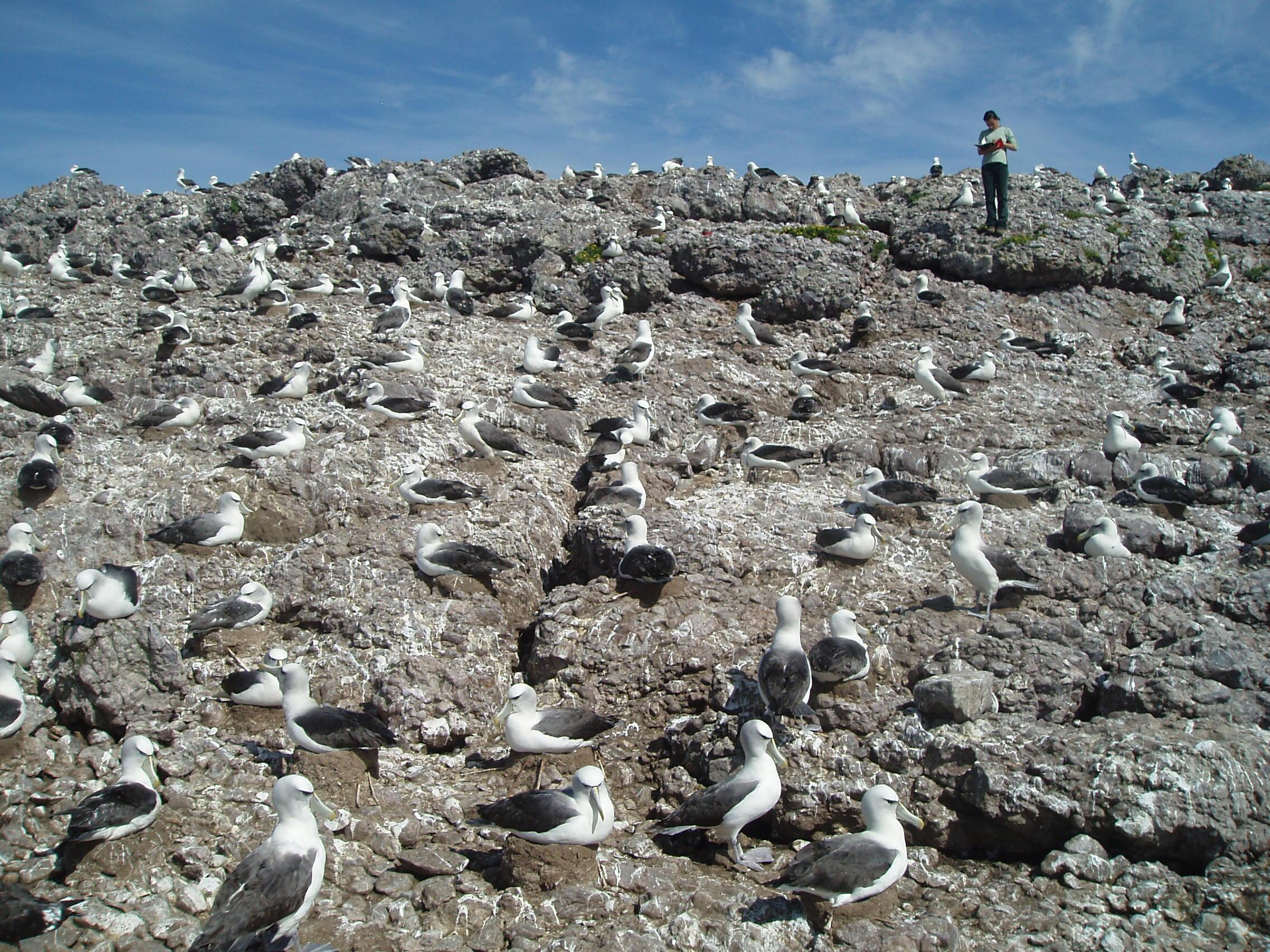 A shy albatross colony