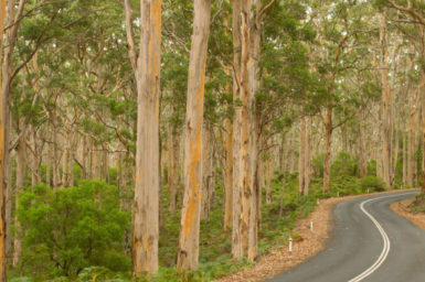 A eucalypt forest around a winding road